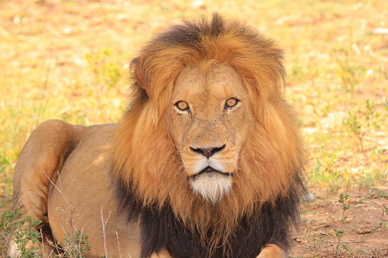 Lion and Safari parks in Kenya
